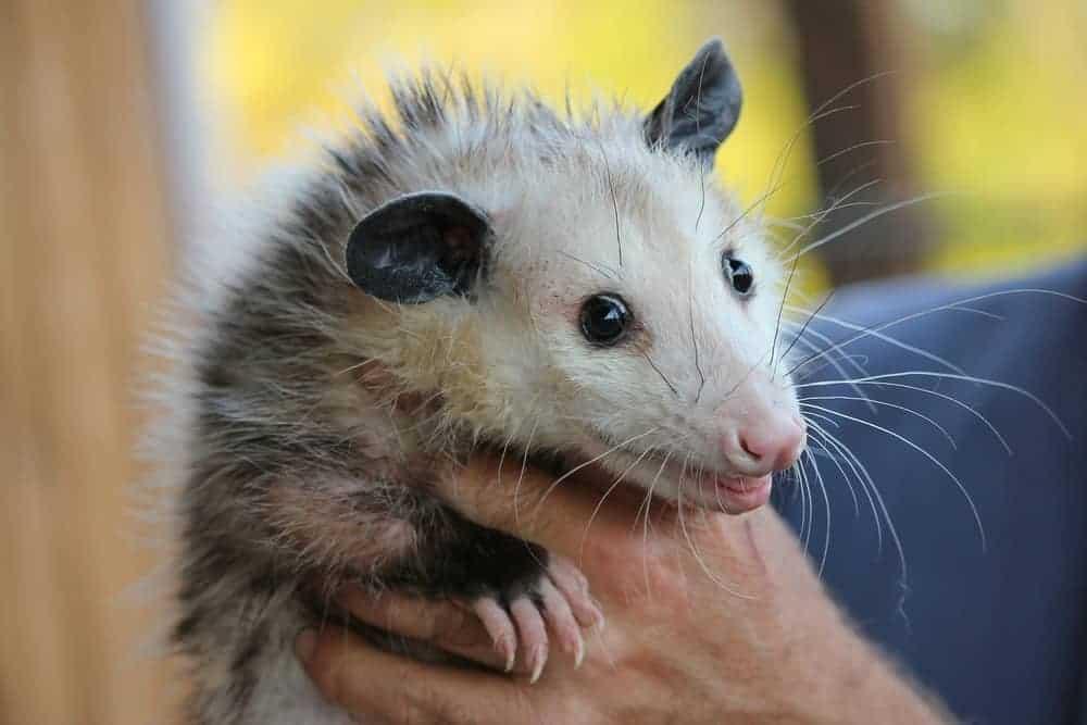 my dog just killed a possum